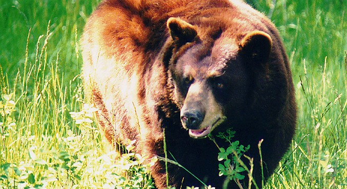 Image Courtesy of Yellowstone Bear World